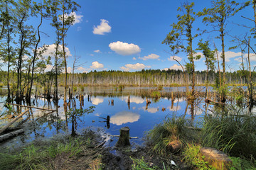 swamp in summer green forest