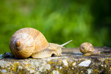 One big snail and one small snail walking on concrete