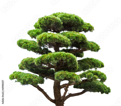 bonsai green pine tree isolated on white