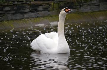 Bonito cisne nadando mientras llama a otros patos