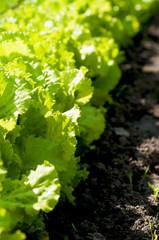 green salad  cabbage in the garden