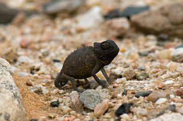Tiny namaqua chameleon
