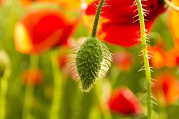 Field of Corn or Red Poppy Flowers Papaver rhoeas in Spring, com