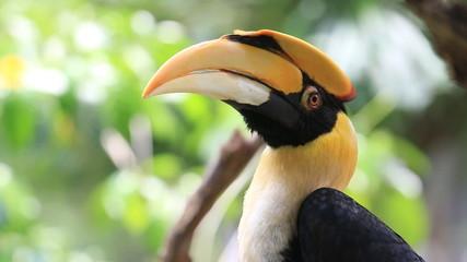 Close up a Great Hornbill bird, HD Clip.