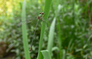 libellula (Lestes viridis)