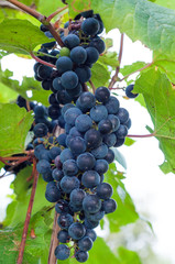 Clinton red wine grapes