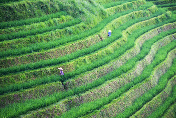 Green shoots of rice on mountain fields