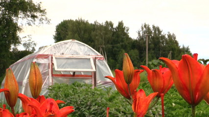 Dark orange lily flowers and greenhouse in country yard garden