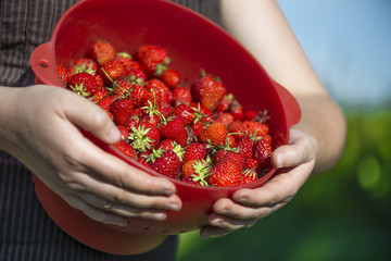 Organic strawberries freshly harvesting and holding by attractiv