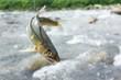 鮎の友釣り