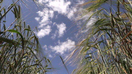 Ripe barley barleycorn plant crop ears move in wind