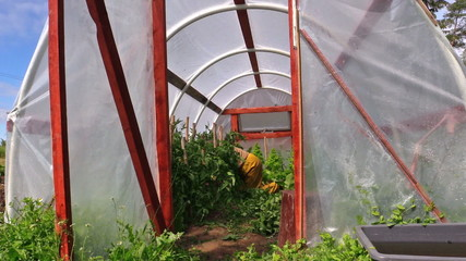 Farmer gardener on knees care tomatoes plants in hothouse