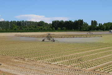 intensive irrigation in vegetable field