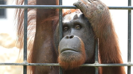 Close up Big orangutan in cage, HD Clip.