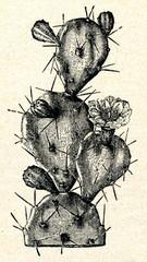 Drooping Prickly Pear (Opuntia monacantha)