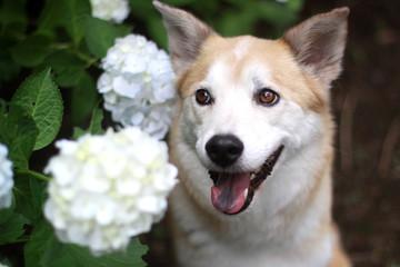 笑顔の犬と紫陽花
