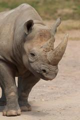 White Rhino 9034