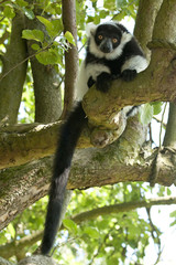 Black and White Ruffed Lemur 9060