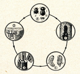 Life cycle of European shothole borer
