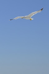 seagull flying on blue background