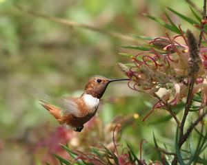 Rufous Humminbird on Grevillea