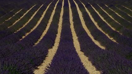 Lavendelfeld vid 11