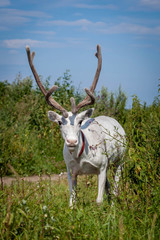 Female reindeer or caribou outdoors