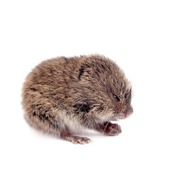 Common Vole, 3 weeks old, on white