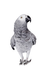 African Grey Parrot, isolated on white background