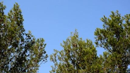 pinos y cielo