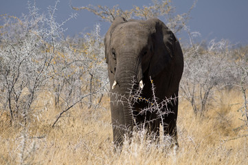 Desert elephant in Damaraland