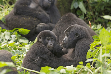 Mother and Child Gorilla in the Forest