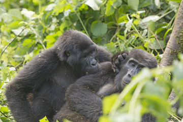 Mountain Gorilla Grooming another Gorilla