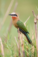 White fronted bee-eater sit on reed waiting for the next inset t