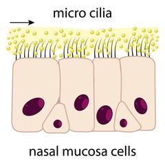 Nasal mucosa