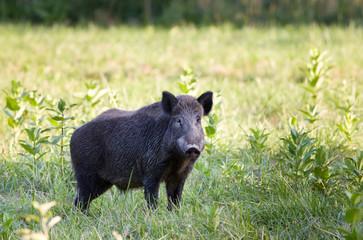Wild boar (sus)