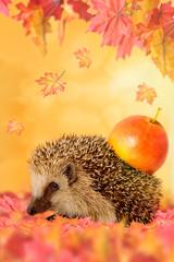 Igel mit Apfel auf dem Rücken im Herbstlaub