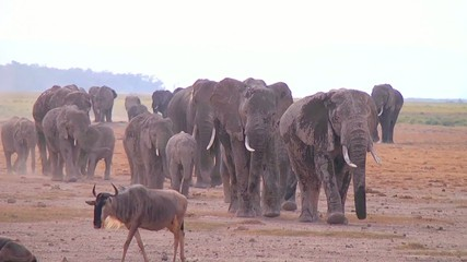 Large herd of elephants comes to watering.