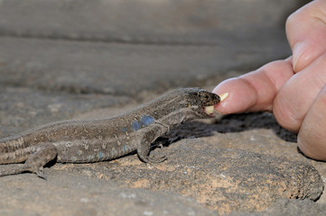 Tizon lizard in Tenerife, Canary Islands. Gallotia Galloti