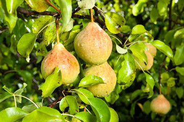 pears on the tree branches