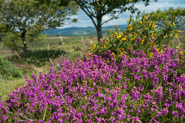 heather  on Moorland in British National Park
