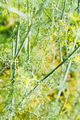 rain drops on dill herbs in garden