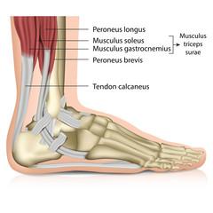 Anatomie Fuß - Muskeln, Perenoal anatomy