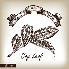 Kitchen herbs and spices. Bay Leaf hand drawn illustration