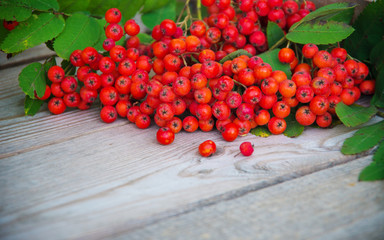 Red rowan berries
