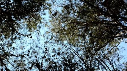giro copas de pinos