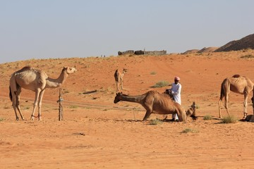 Camel in the desert and the beduin