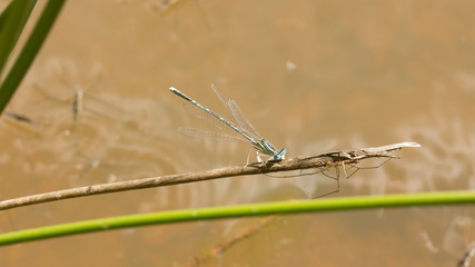Damselfly and spider