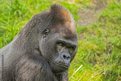 Foto op Aluminium Aap Big western lowland gorilla