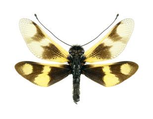 Ascalaphus Libelloides macaronius
